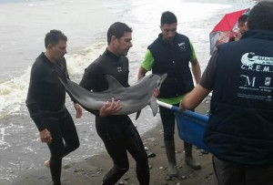 A dolphin calf being rescued from Estepona beach
