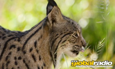 Rare Iberian Lynx Killed In Forest Fires