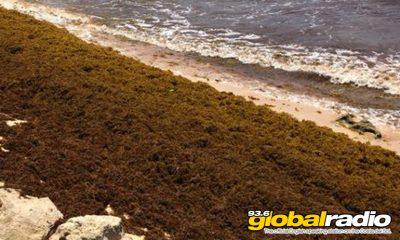 Brown Algae On Costa Del Sol Beaches