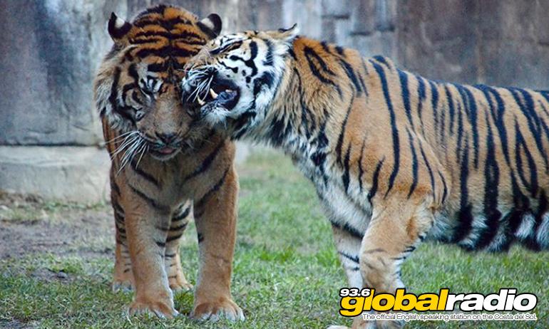 Asmara Rokan Tigers